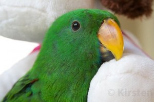 Hand Raised Eclectus