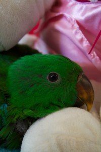 Hand Raised Eclectus Parrot