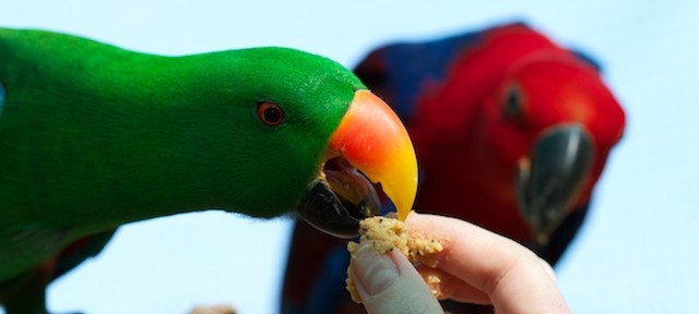Eclectus Parrots – The importance of a winter diet
